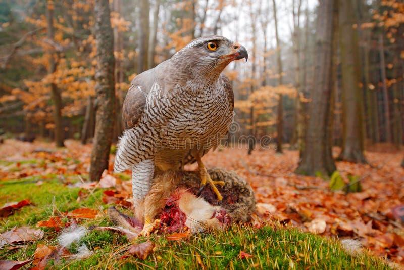 La vita nell'astore della foresta di autunno, gentilis del Accipiter, alimentantesi ha ucciso la lepre nella rapace della foresta immagini stock libere da diritti