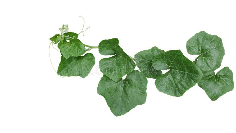 La vite di trascinamento della zucca con le foglie verdi ed i viticci isolati su fondo bianco, percorso di ritaglio ha incluso fotografie stock libere da diritti