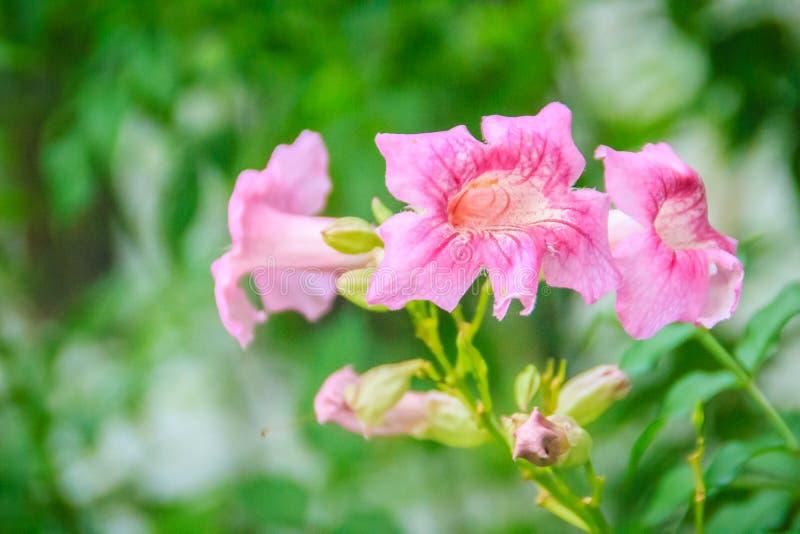 La vite di tromba rosa fiorisce (ricasoliana di Podranea) nel giardino Il ricasoliana di Podranea inoltre è conosciuto come rampi fotografia stock libera da diritti
