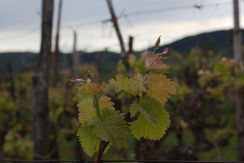La vite in primavera cronometra, Vitis vinifera L fotografia stock