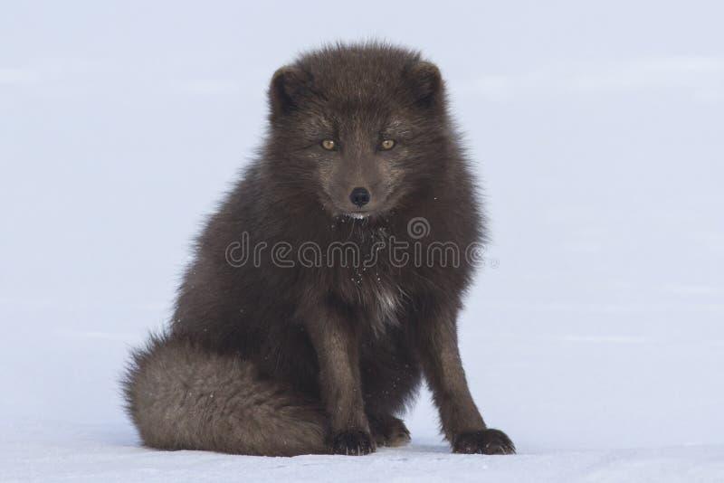 La volpe artica blu di comandante che si siede nel giorno di inverno della neve fotografia stock libera da diritti