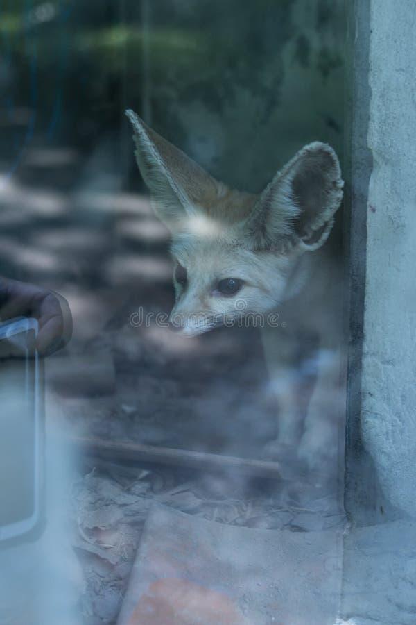 La volpe grande eared curiosa nella finestra sta guardando il telefono cellulare dei turisti in Chongqing Zoo fotografia stock