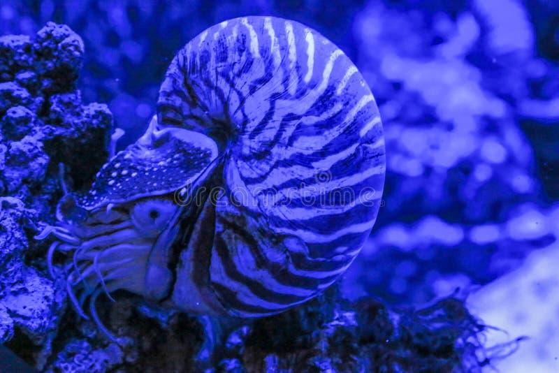 La vongola di nautilus pompilius si siede su un corallo fotografie stock libere da diritti