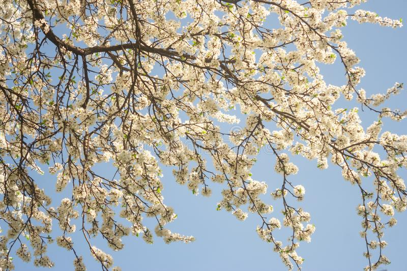 La voz de la primavera contra la perspectiva de árboles frutales de florecimiento, restableciendo después de un sueño del inviern imagen de archivo