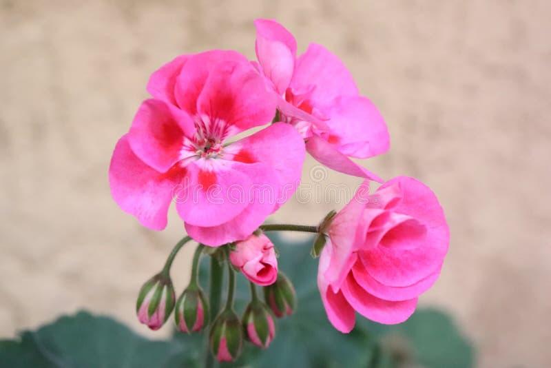 La vraie simplicité de la mauve Rose Magenta Melva de temps de nature photo stock