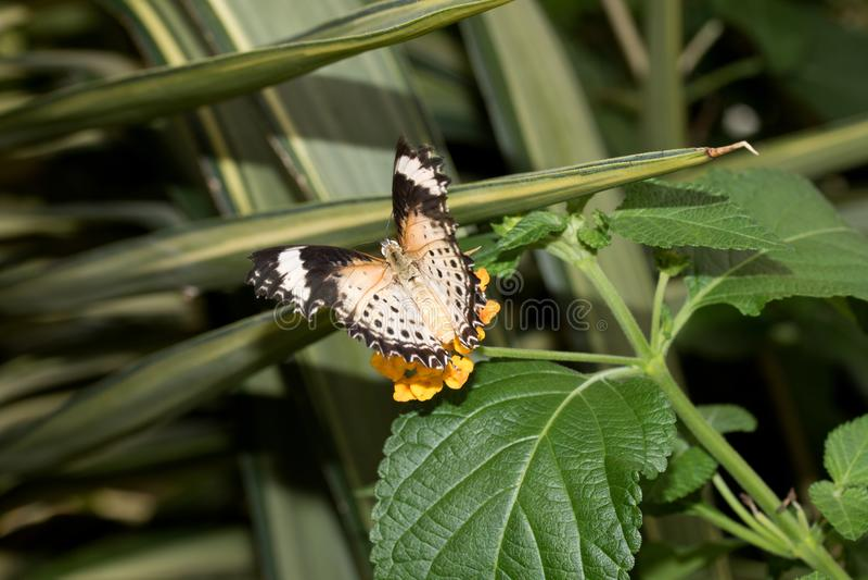 La vue arrière d'un filet de léopards hésitent étendant ses ailes se reposant sur une fleur orange image stock