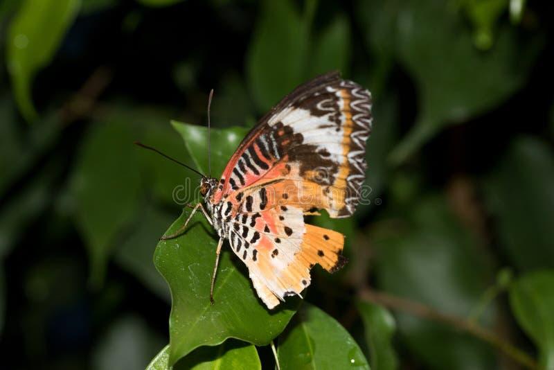 La vue de côté arrière et d'un filet de léopards hésitent le papillon photographié dans une serre photographie stock