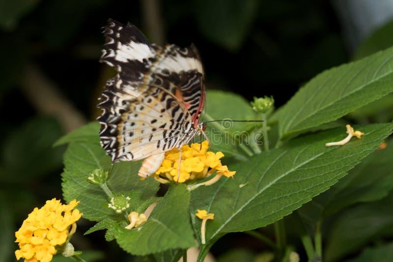 La vue de côté haute d'extrémité et étroite d'un filet de léopards hésitent le nectar potable d'une fleur jaune avec sa buse photographie stock libre de droits