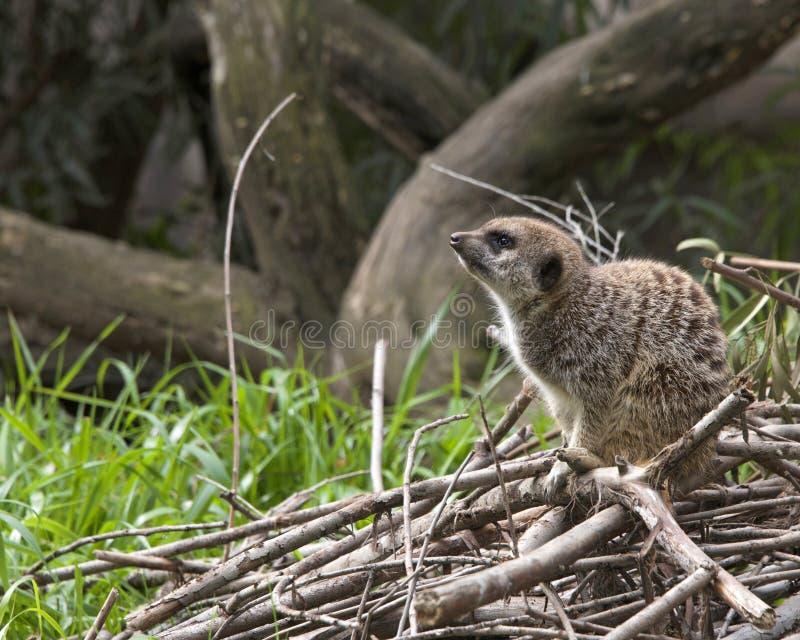 La vue de côté du meerkat simple s'est tapie vers le bas sur une pile des branches images libres de droits