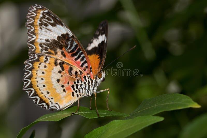 La vue de face latérale et d'un filet de léopards hésitent se reposer sur une feuille verte avec la moitié d'ailes ouvertes image stock