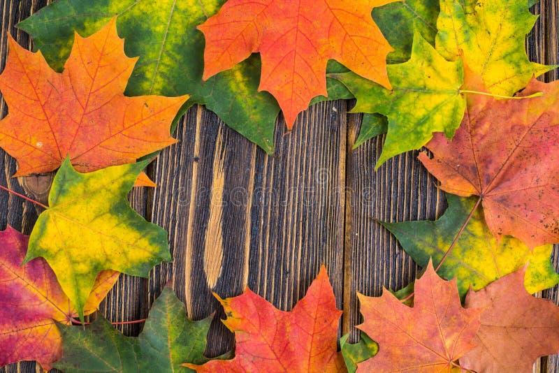 La vue de l'érable coloré automnal de jaune, vert et rouge part sur le fond en bois Feuillage d'automne photos stock