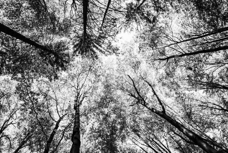 La vue de l'arbre couronne au printemps la forêt, sans couleur photographie stock