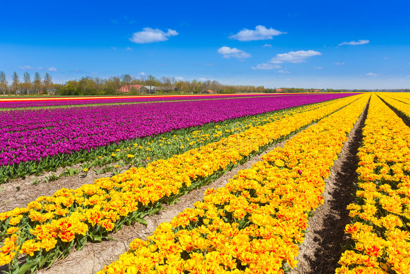 La vue de la tulipe jaune et pourpre rame en été image stock