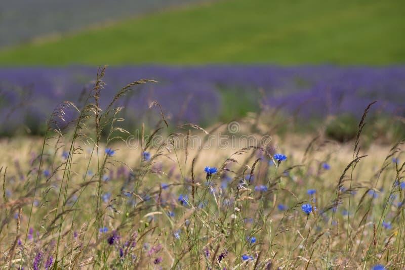 La vue de la lavande met en place à une ferme de fleur dans le Cotswolds R-U Horticulture sauvage dans le premier plan photographie stock libre de droits