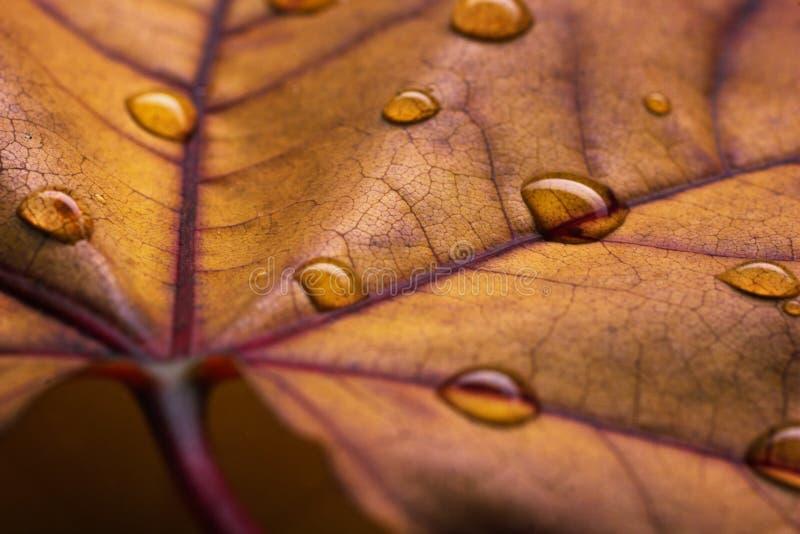 La vue de plan rapproché de la feuille d'automne avec de l'eau chute photo stock