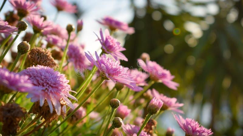 La vue de plan rapproché du rose violet a coloré la floraison de fleurs de cosmos photographie stock libre de droits