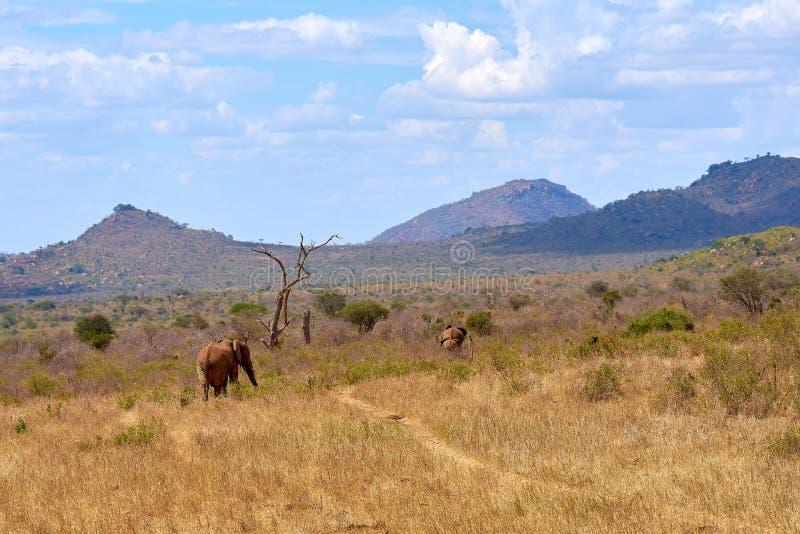 La vue de la savane de l'éléphant deux africain va sur le safari au Kenya, avec les arbres et les montagnes brouillés photos stock