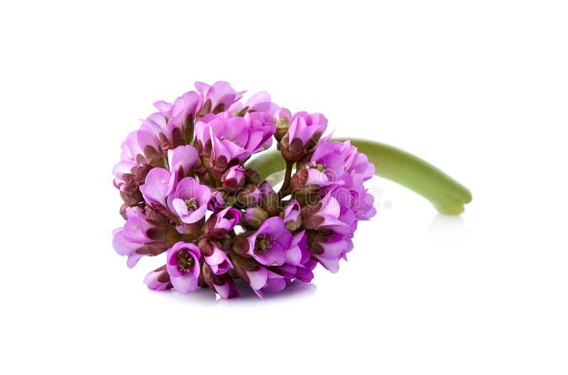 La vue en gros plan au bergenia rose de fleur a ?galement appel? l'?l?phant-oreille, th? badan et sib?rien, th? mongol, bergenia  photos libres de droits