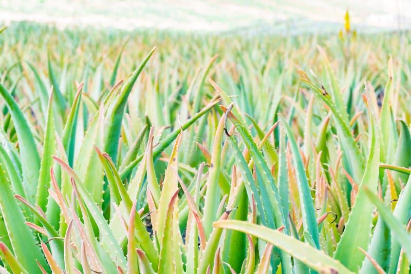 La vue en gros plan de l'aloès Vera part à la plantation à Lanzarote, Îles Canaries, Espagne photo libre de droits