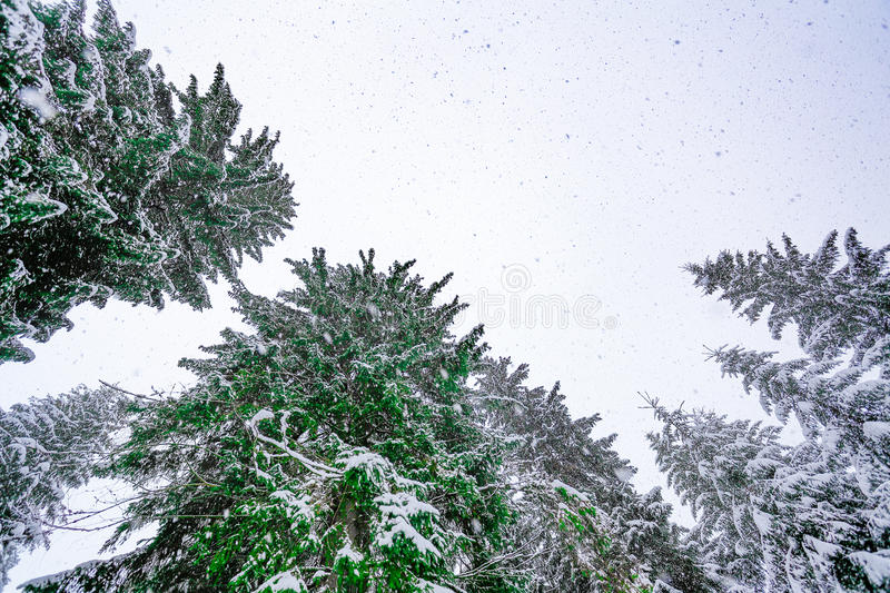 La vue inférieure sur l'arbre couvert de neige image stock