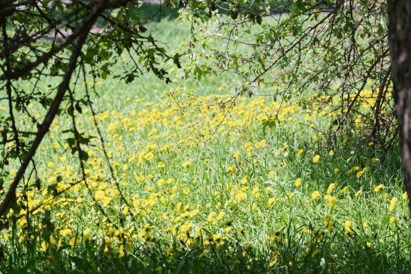 La vue par des branches d'arbre à un pré avec le pissenlit jaune fleurit photographie stock