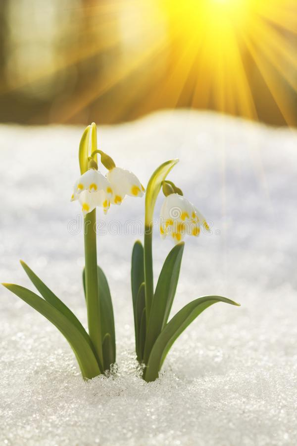 La vue scénique majestueuse sur le perce-neige sauvage de ressort fleurit au soleil Les rayons de soleil d'or étonnants sur le pe image stock