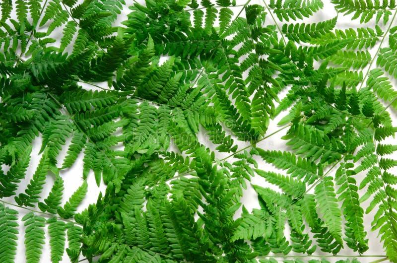 La vue supérieure de la fougère tropicale verte part sur le fond blanc Configuration plate Concept minimal d'?t? photo libre de droits