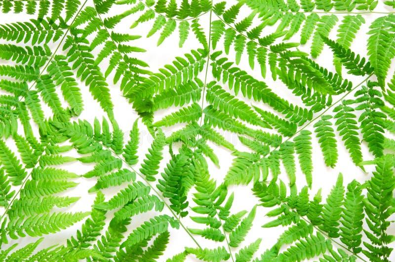 La vue supérieure de la fougère tropicale verte part sur le fond blanc Configuration plate Concept minimal d'?t? photographie stock libre de droits