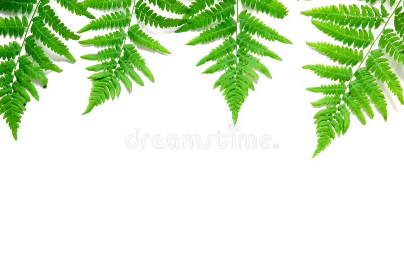 La vue supérieure de la fougère tropicale verte part sur le fond blanc Configuration plate Concept minimal d'?t? L'espace opy de  photos stock