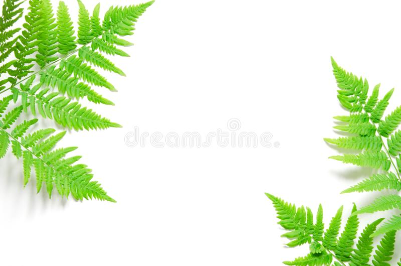 La vue supérieure de la fougère tropicale verte part sur le fond blanc Configuration plate Concept minimal d'?t? L'espace opy de  photographie stock libre de droits