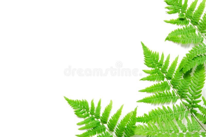 La vue supérieure de la fougère tropicale verte part sur le fond blanc Configuration plate Concept minimal d'?t? L'espace opy de  image libre de droits