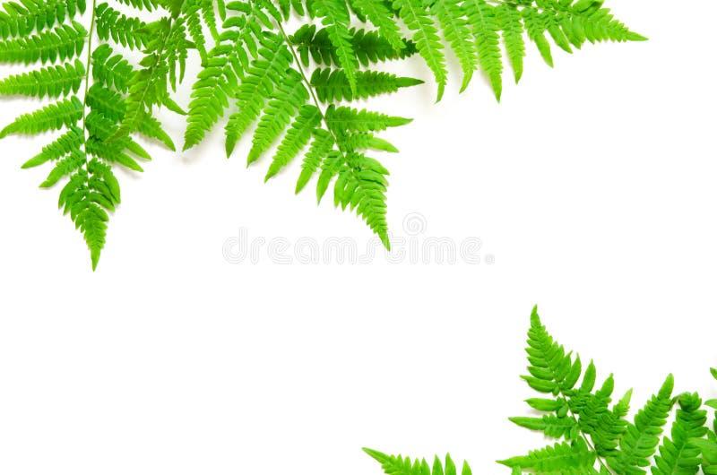 La vue supérieure de la fougère tropicale verte part sur le fond blanc Configuration plate Concept minimal d'?t? L'espace opy de  photo libre de droits