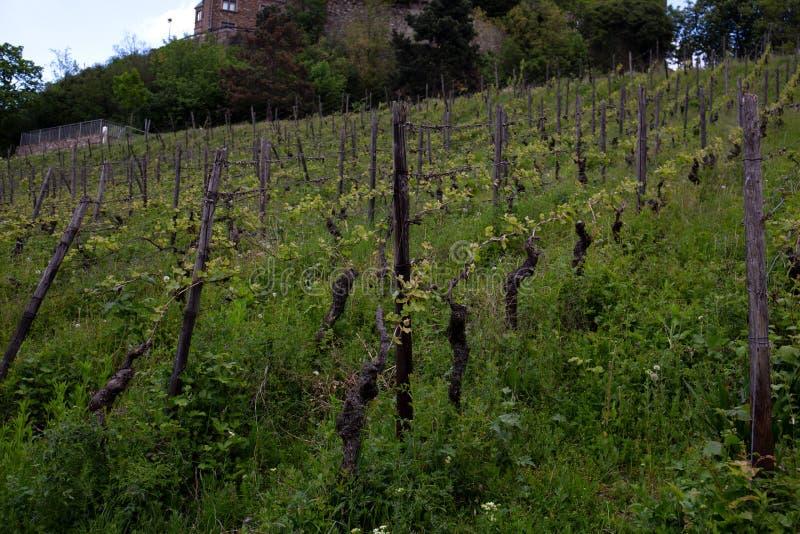 La vue sur des usines de vin dans le bingen suis principale dans Hesse Allemagne photographie stock libre de droits
