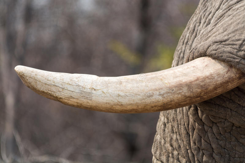 La zanna dell 39 elefante primo piano fotografia stock - Elefante foglio di colore dell elefante ...