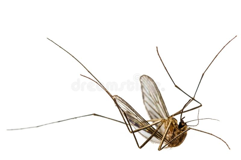La zanzara morta, isolata su fondo bianco fotografia stock