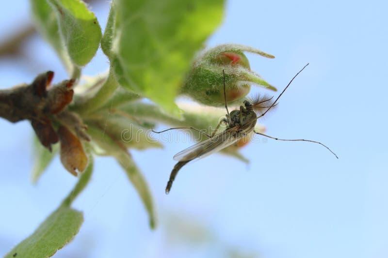 La zanzara si siede su un fiore fotografia stock libera da diritti