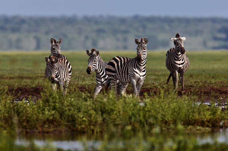 La zebra si è arrestata all'acqua fotografia stock