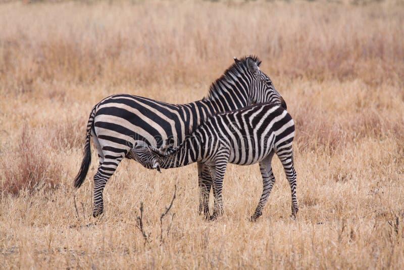 La zebra sta bevendo con la madre immagini stock