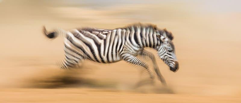 La zebra sta correndo nella polvere nel moto kenya tanzania Sosta nazionale serengeti Masai Mara fotografia stock
