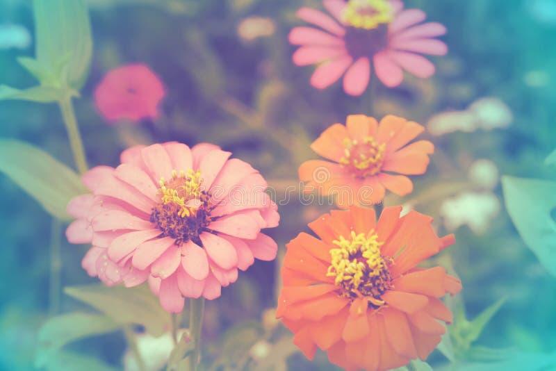La zinnia fiorisce con il fondo di colore, fuoco molle di bei fiori con i filtri colorati fotografia stock