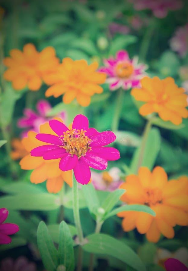 La zinnia variopinta fiorisce nello stile dell'annata del giardino fotografie stock libere da diritti