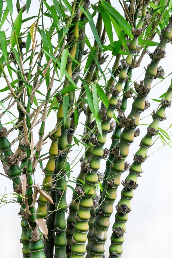 La zucca di bambù immagine stock