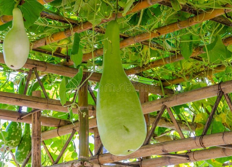La zucca gigante fotografia stock libera da diritti