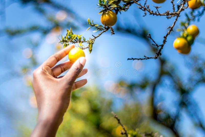Laag hangend fruit royalty-vrije stock foto