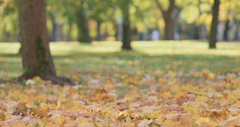 Laag hoekschot van esdoornbladeren in de herfstpark royalty-vrije stock afbeeldingen