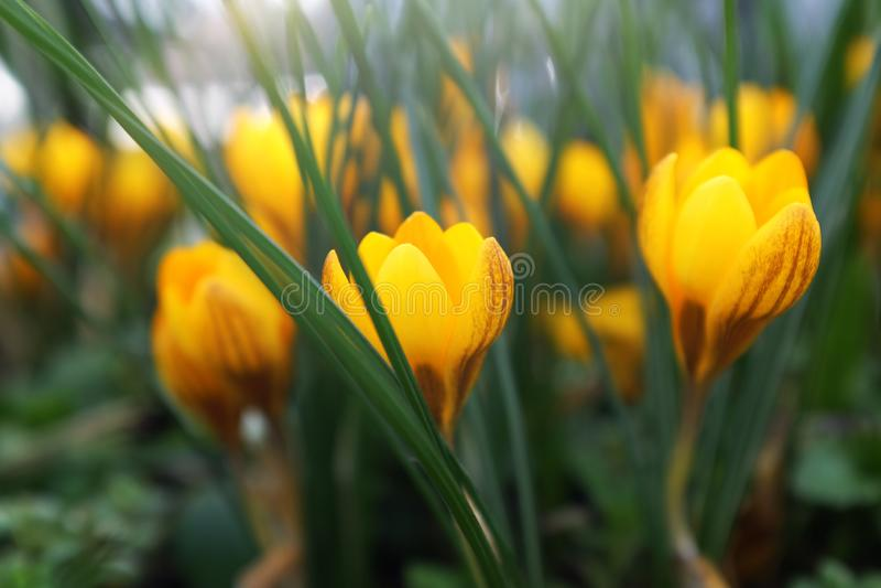 Laag profiel van gele krokusbloemen stock foto