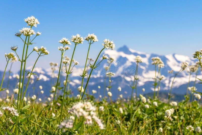 Laag schot van witte wildflowers met erachter Onderstel Shuksan, WA stock afbeeldingen