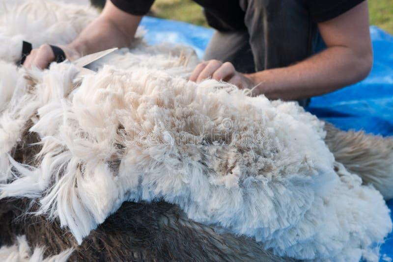 Laag van alpacavacht tijdens het scheren wordt verplaatst die stock afbeelding