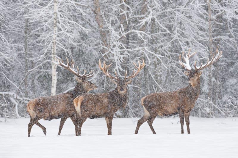Laat het sneeuwen: Tribune van Cervidae van het drie Snow-Covered Rode Hertenmannetje op de Rand van de Edele Herten Cervus Elaph stock foto's