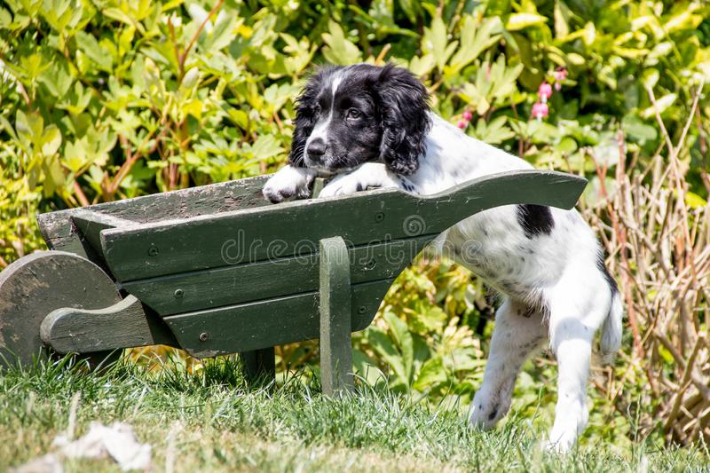 Laat me helpen, leunt een jonge hond tegen een kruiwagen in een tuin stock foto's